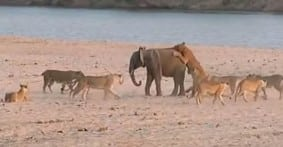 baby-elephant-lion-attack