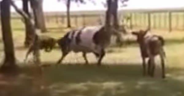 Cow vs Sheep Dual