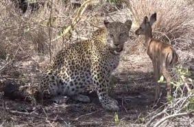 Leopard Licking Impala